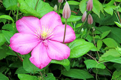 Flower and a few buds of pink clematis Royalty Free Stock Photos