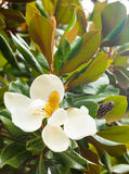 Flower of ficus Stock Photography