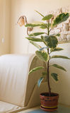 Flower ficus on the table in the white room. Home flower ficus in a brown planter stands on the coffee table in the white room Royalty Free Stock Photos