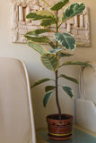 Flower ficus on the table in the white room. Home flower ficus in a brown planter stands on the coffee table in the white room Stock Image