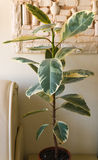 Flower ficus on the table in the white room Stock Images