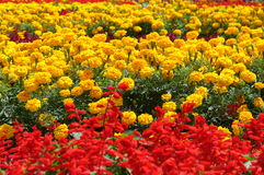 Flower field. Field of red and yellow flowers Royalty Free Stock Image