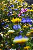 Flower field. A mountain flower field, Ladakh, India Stock Photo