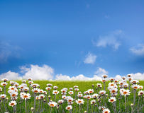 Flower field. White flower field on summer stock photography