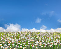 Flower field. White flower field on summer royalty free stock photography