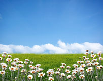 Flower field. White flower field on summer stock photo