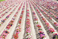 Flower field Stock Image
