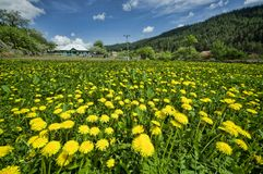 Flower field. Meadow with yellow dandelions in village Stock Photo