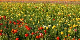 Flower field. Wide view of a flower field in san diego Stock Photos