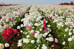Free Flower Field Royalty Free Stock Image - 8696786