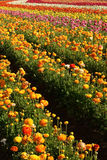 Flower field. Wide view of a flower field in san diego, california Stock Photography