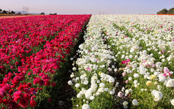 Flower field. Wide view of a flower field in san diego, california Stock Photo