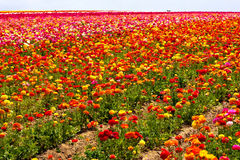 Free Flower Field Stock Photography - 9223142