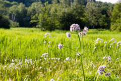 Flower in a field Royalty Free Stock Photography