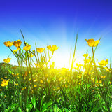 Flower Field And Sun. Stock Photography