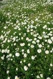 Flower field background. White Flower field background in summer Stock Images