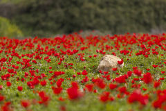 Flower field. Beautiful Wild Red Anemones Field Royalty Free Stock Images