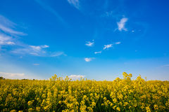 Flower field and blue sky Stock Image
