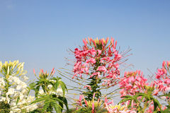 Flower field and blue sky Stock Photography