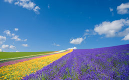 Flower field and blue sky with clouds. Royalty Free Stock Photography