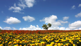 Flower field and blue sky. Photo was taken in Furano of hokkaido royalty free stock photography