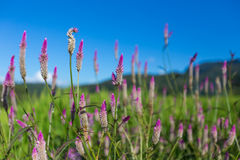 Flower and field. Royalty Free Stock Images