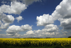 Flower field and the cloudy sky Royalty Free Stock Image