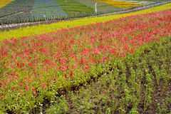 Flower field in colors. Flower field in various colors pattern, shown as good nature environment and spring growing season Stock Photo