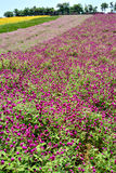 Flower field with colors. Flower field in various colors pattern, shown as good nature environment and spring growing season Royalty Free Stock Image