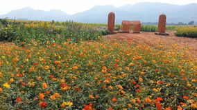 Flower field. In a farm Stock Photography