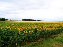 Flower, Field, Flowering Plant, Sunflower royalty free stock photos