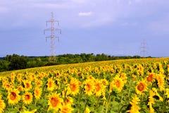 Flower, Field, Flowering Plant, Sunflower royalty free stock photo