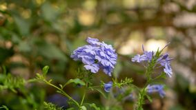 Bunches of blue tiny petals of Cape leadwort plant blossom on greenery leaves and blurry background, know as white plumbago. Or sky flower royalty free stock images