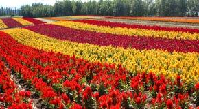 Flower field in Furano Stock Photos