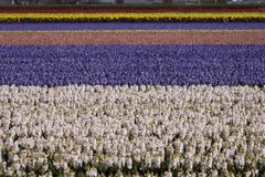 Flower field with garden hyacinths, Holland Royalty Free Stock Photo
