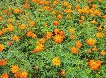 Bidens bipinnata field. Flower field on ground Stock Images