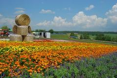 Flower field in Hokkaido. Colourful flower field in Biei, Hokkaido, Japan in summertime Royalty Free Stock Photos