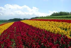 Flower field in Hokkaido. Colourful flower field in Biei, Hokkaido, Japan in summertime Stock Images