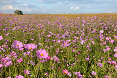 Flower field royalty free stock photography