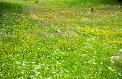 Flower field / meadow in springtime. A fresh green meadow full with wild small flowers in springtime Royalty Free Stock Photography