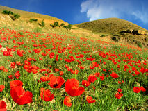 Flower field in mountains. Red poppies in front on high altitude alp mountains Royalty Free Stock Photos