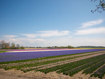 Flower field in the Netherlands Royalty Free Stock Images