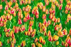 Flower Field Of Striped Tulips In The Keukenhof