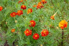Flower field, orange on a green background is marigolds stock images