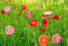 Flower field poppy Royalty Free Stock Images