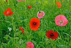 Flower field poppy Stock Images