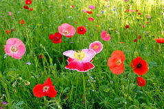 Flower field poppy Royalty Free Stock Photography