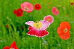 Flower field poppy Stock Images
