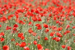 Flower, Field, Poppy, Ecosystem Stock Photography