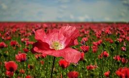 Flower, Field, Poppy, Wildflower Royalty Free Stock Photo